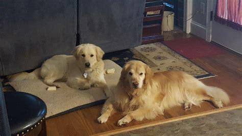 golden retriever rescue dakota home golden retriever rescue club of