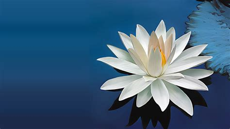 free mp3 download of beautiful in white nature wallpaper with beautiful white lotus flower hd