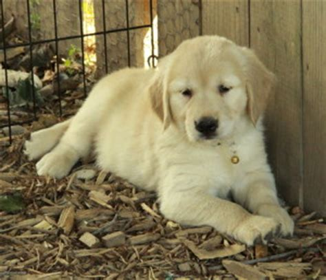 puppies for sale ontario golden retriever puppies for sale puppies for sale
