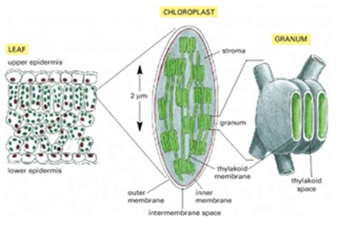 cross section of chloroplast cheo licensed for non commercial use only nanslo lab