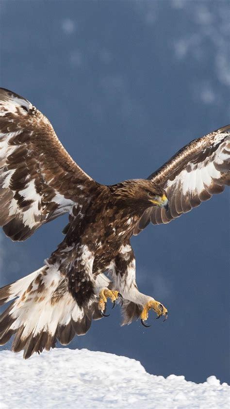 fonds decran aigle royal predateur vol ailes neige
