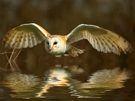 barn owl amanda mcghee