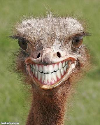 teeth ostrich emu funny smile blank template imgflip