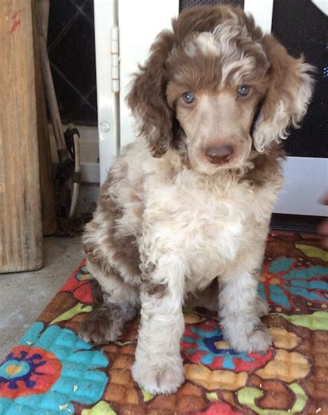 standard poodle puppies california standard poodle puppies for sale san diego ca dogs our friends photo