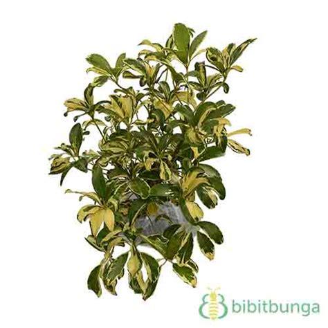 Tanaman Hias Variegata tanaman walisongo variegata jual tanaman hias