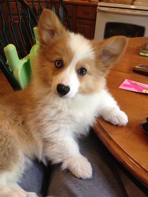 fluffy corgi puppies corgi corgi cuteness