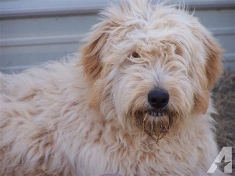goldendoodle puppies for sale in kansas goldendoodle puppies ready 8 wks for sale in lawton