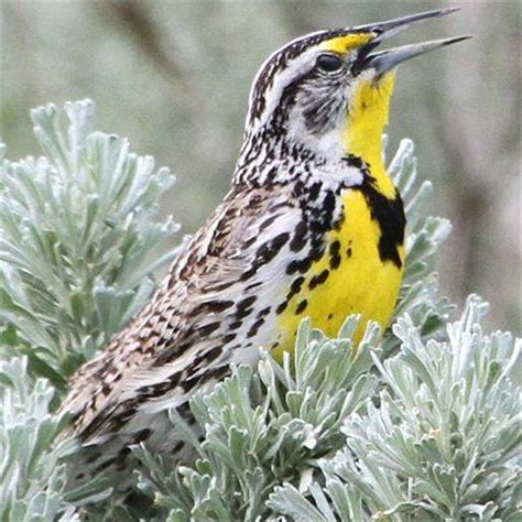 54 best state birds and flowers images on pinterest