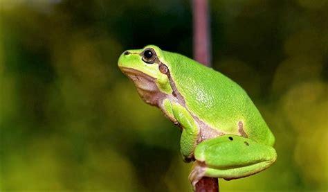 imagenes ironicas de la rana rana caracter 237 sticas reproducci 243 n alimentaci 243 n