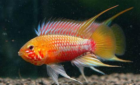 Ikan Apisto Agassizi Gold Apistogramma Agassizi Gold dapat badis badis