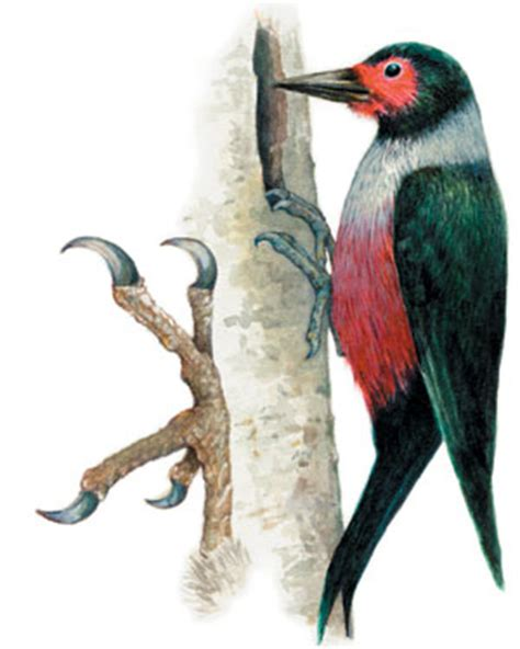 woodpecker feet www pixshark com images galleries with