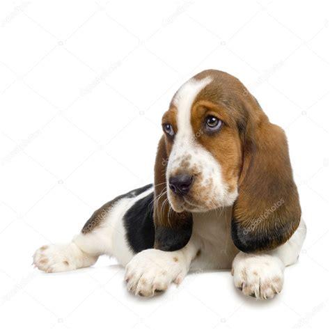 Hush Puppies Kotak 9 basset hound puppy hush puppies stock photo 169 lifeonwhite 10863794