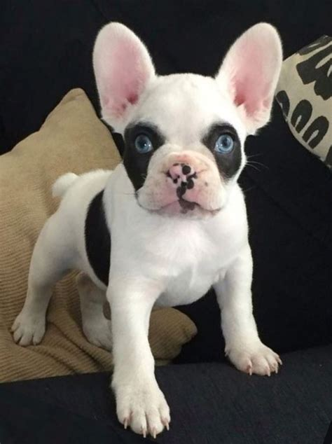 frenchie pug breeders 25 best ideas about mini bulldogs on