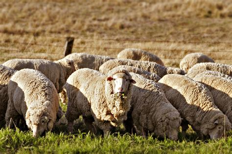 austrailian sheep file sheep grass edit02 jpg