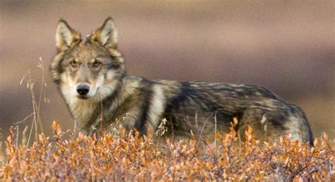 News Roundup Climate Change Reports Censored Wolves And More by Wildlife Weekly Wrap Up Defenders Of Wildlife