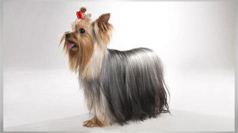 yorkie puppies 101 terrier dogs 101 animal planet