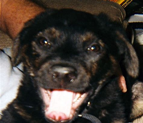 scary names for rottweilers maverick rottweiler humane society of dallas county