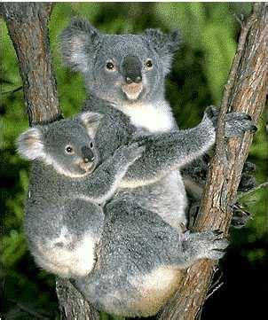 koala hängematte koala explore birdies100 s photos on flickr birdies100