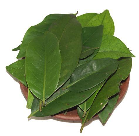 Khasiat Dasyat Dan Salam khasiat dan manfaat daun salam bagi kesehatan tubuh portal rumah sehat indonesia