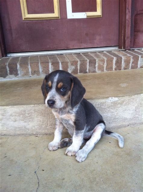 bluetick beagle puppies 17 best images about blue tick beagle on beagle puppies puppys and i want