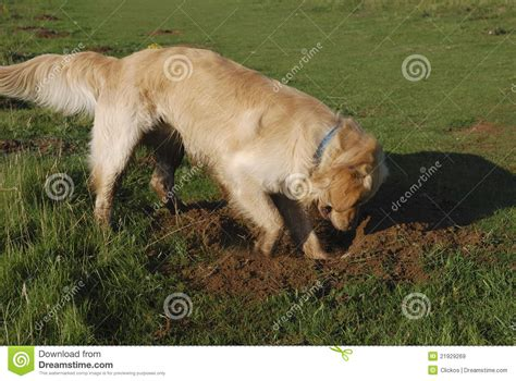 golden retriever digging golden retriever digging royalty free stock images image 21929269