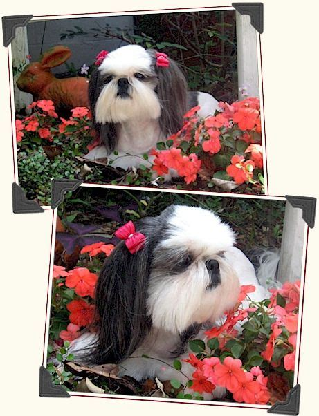 best comb for shih tzu 18 best images about grooming on poodles a professional and shih tzu