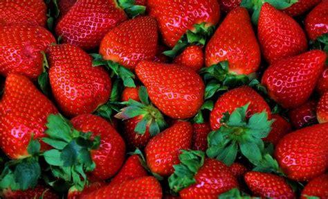 concime per fragole in vaso fragole ricanti frutteto coltivare fragole ricanti