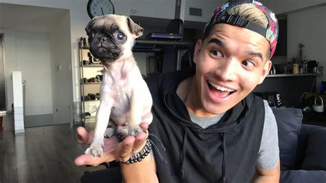 baby pug alex wassabi baby pug livestream