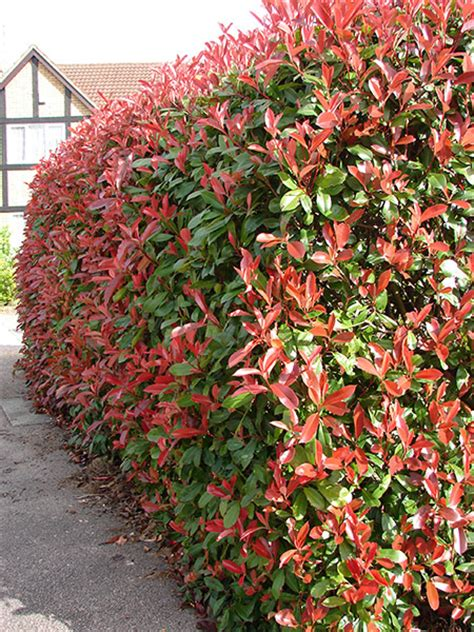 Robin Hecke by Buy Photinia Photinia 215 Fraseri Robin Delivery By
