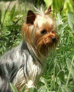 silver hair yorkie biewer yorkie les lices reproductrices biewer terriers arts
