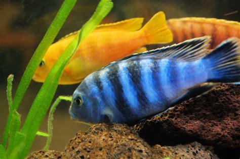 Aquarium Fish L by Cichlid