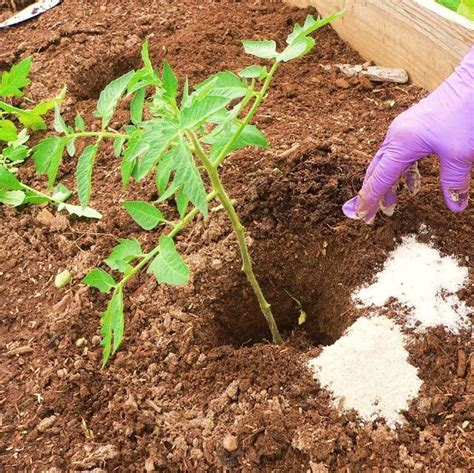 diy tomato fertilizer diy growing tomatoes 5 free fertilizers and tips
