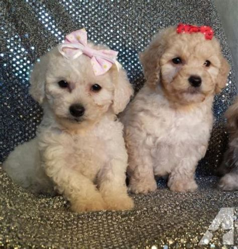maltipoo puppies for adoption maltipoo puppies for adoption 8 weeks for sale in