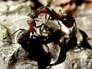 ameisenbefall in der wohnung hausmittel gegen ameisen in haus und garten jetzt lesen