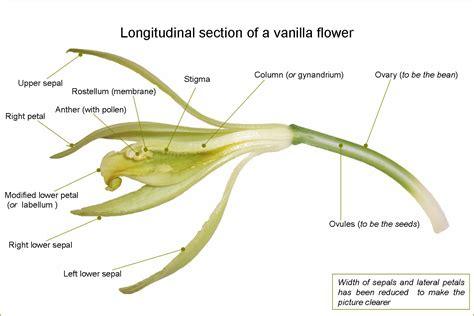 longitudinal section anatomy file vanillaflowerlongitudinalsection en png wikimedia
