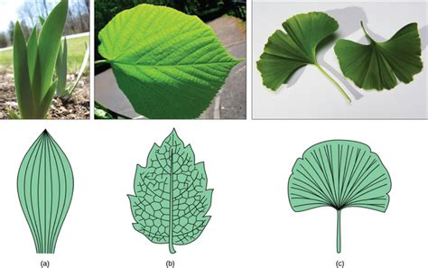 venation pattern analysis of leaf images leaves boundless biology