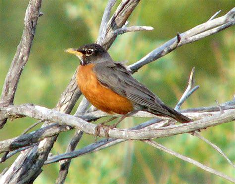 birds american robin