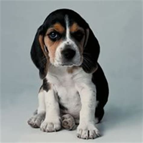 pocket beagle puppies for sale pocket beagle puppies for sale