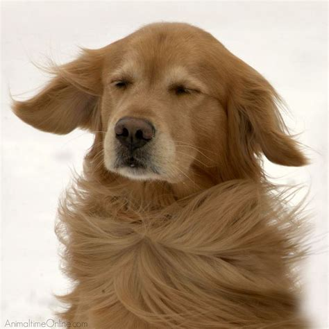 golden retriever fur i the wind blowing through my fur golden retrievers beautiful