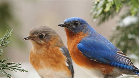 eastern bluebirds sialia sialis male and female eating