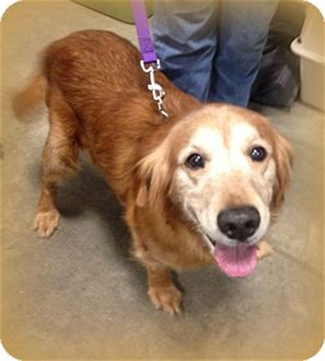 golden retriever indianapolis golden retriever for adoption in indianapolis indiana scout adoption pending