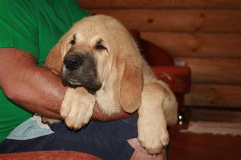 pictures of mastiff dogs mastiff info puppies pictures temperament