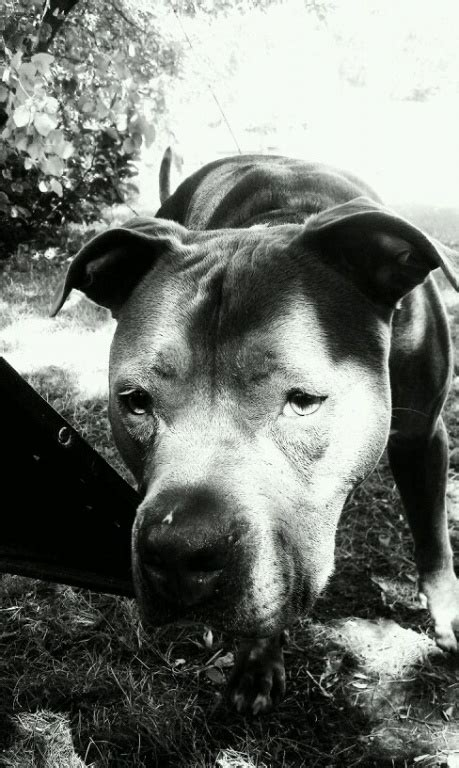 c chaos puppy rescue 1000 images about pitbulls best dogs in the world on