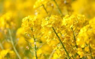 wallpaper  desktop laptop mq yellow flower spring