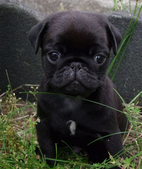 pug throwing up 1000 ideas about black pug on pugs pug puppies and pugs