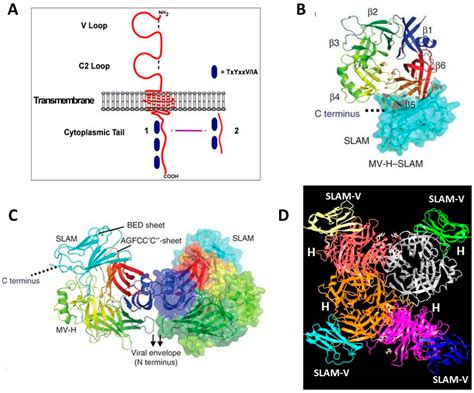 h protein measles viruses free text the host cell receptors for