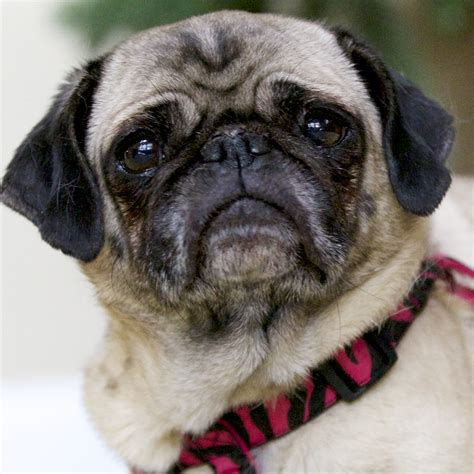 oldest pug roxie the pug shih tzus furbabiesshih tzus furbabies