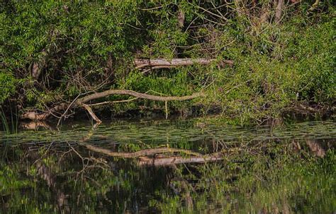 Mirroring Trees tree mirroring in water photograph by leif sohlman tree