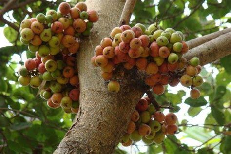 Bibit Bunga Edible doc s fitness tip s fig