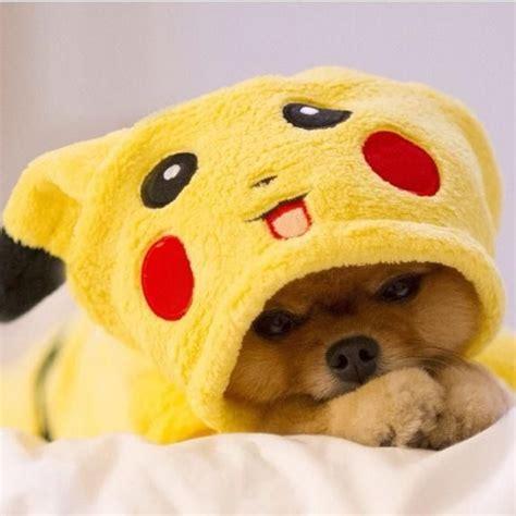 pikachu puppy pomeranian pikachu pomeranians pikachu pomeranians and animal